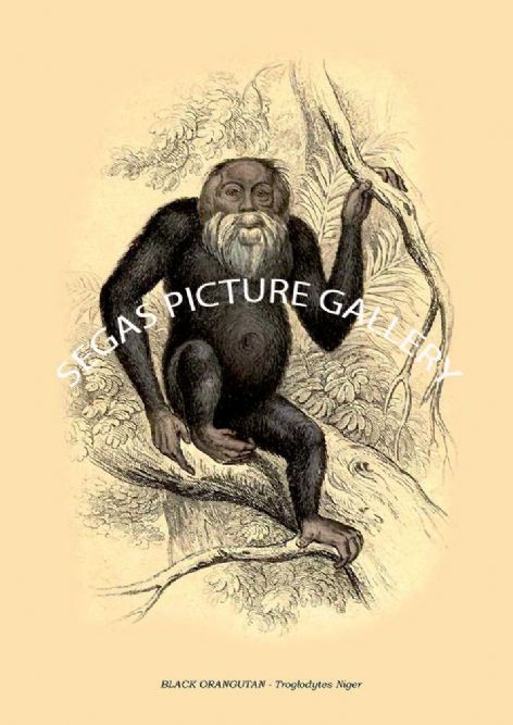 Fine art print of the BLACK ORANGUTAN - Troglodytes Niger by William Lizars
